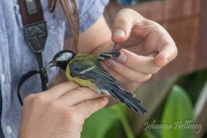 Dagens talgoxe var i full färd med att byta stjärtfjädrar. Stjärtens rundade form förde tankarna åt betydligt mer exotiska fåglar som prinia...